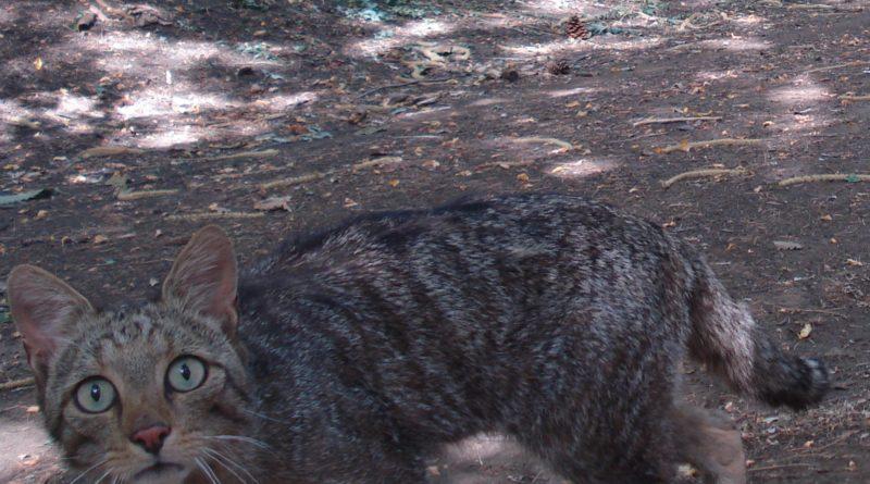 gatto selvatico etna